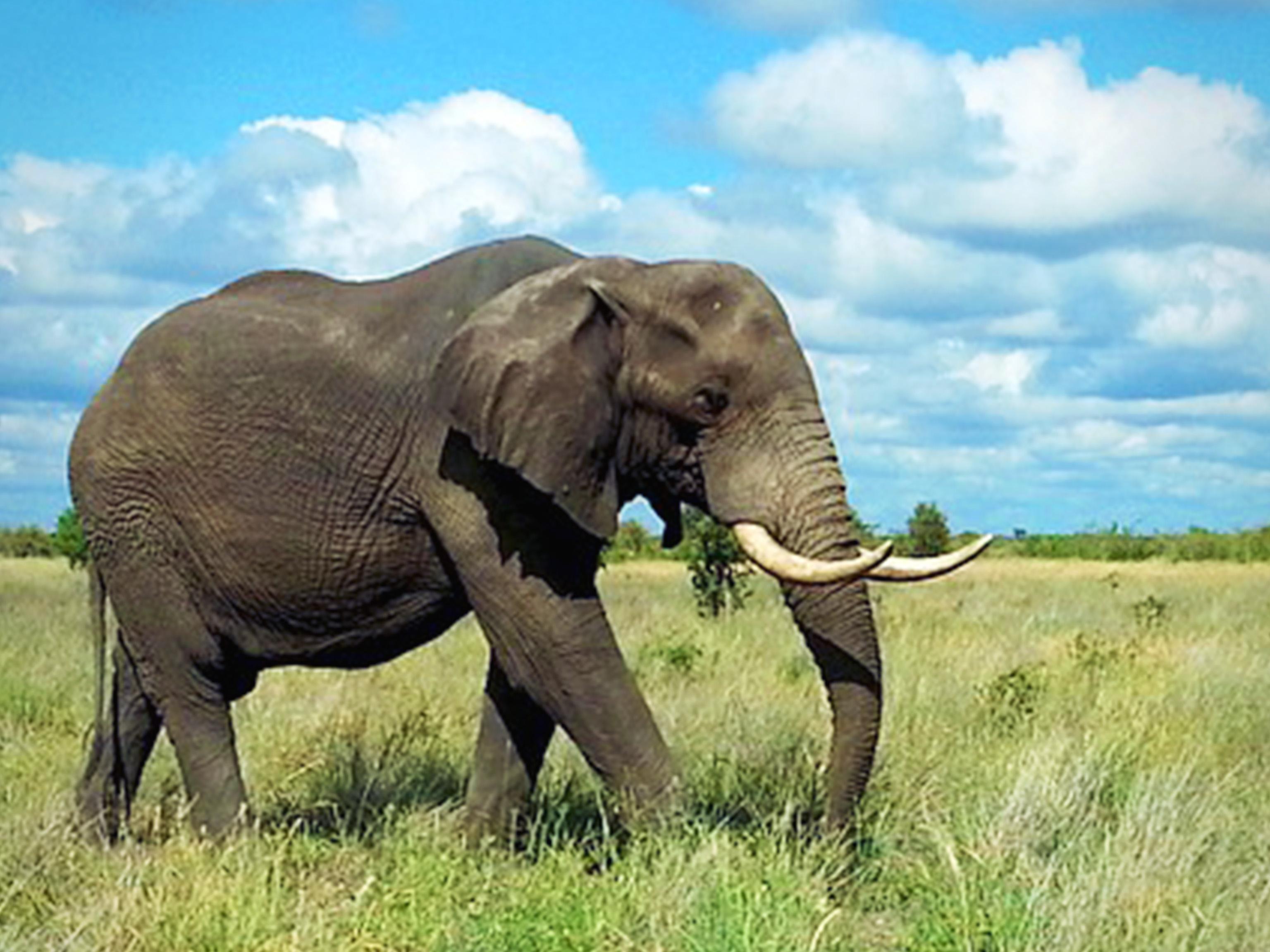Kruger Elephant South Africa