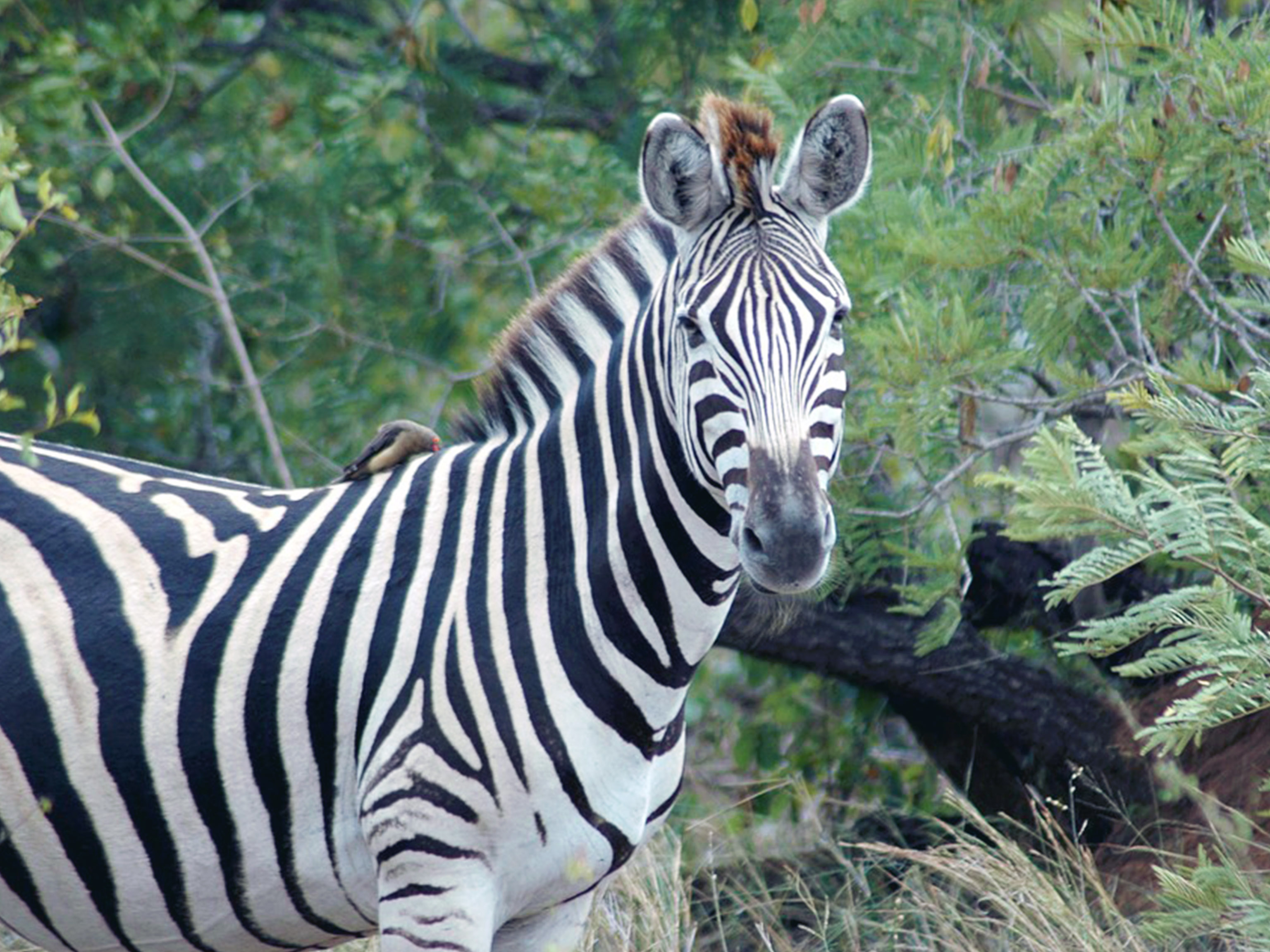 Kruger Zebra South Africa Safari