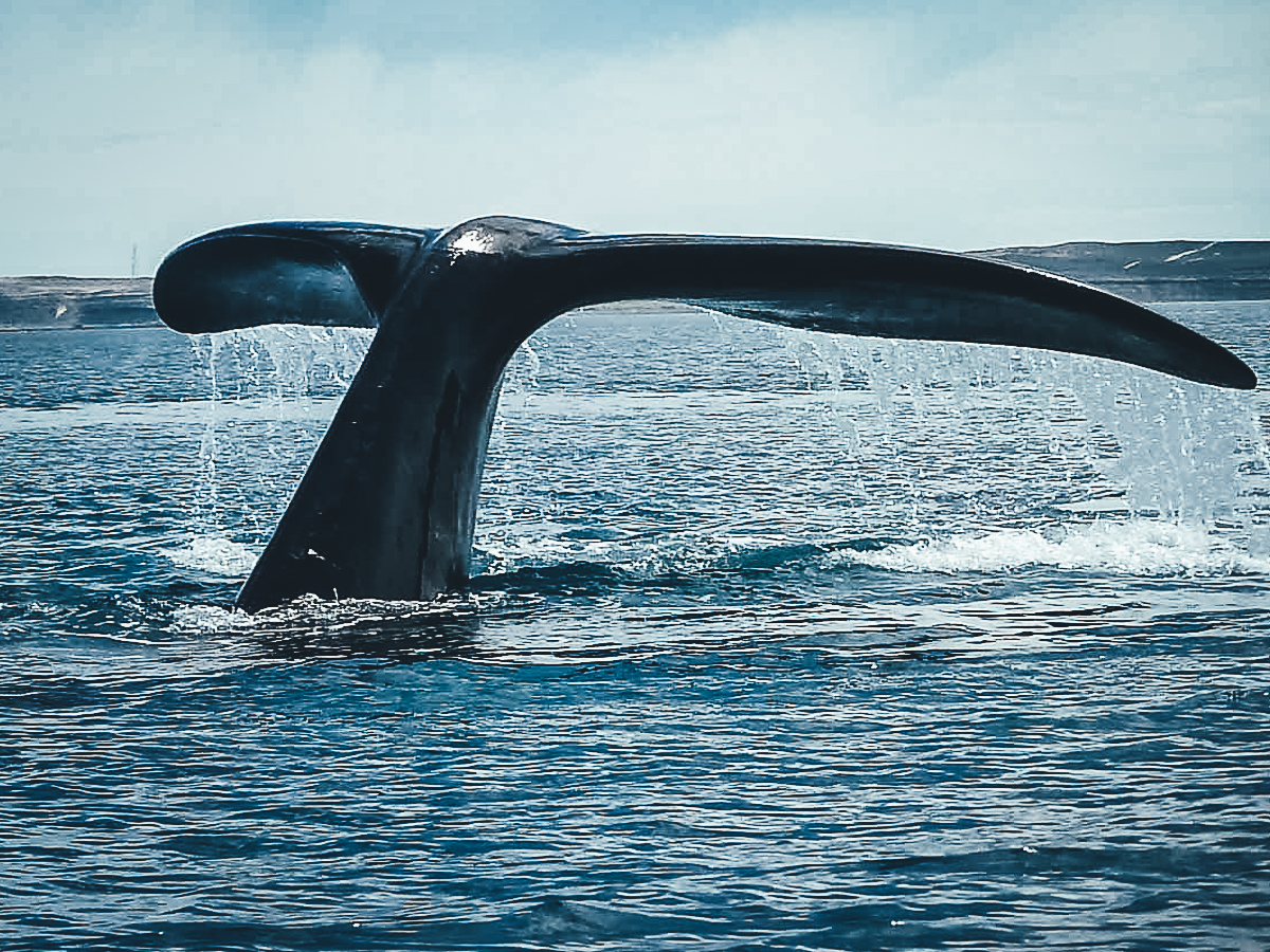 Tail_of_a_whale_near_Valdes_Peninsula.jp